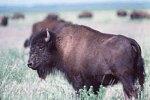 Wood bison (Bison bison athabascae)