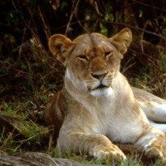 African lioness(Photo courtesy FWS)