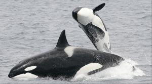 Orca 'Killer' Whales(Photo courtesy of Robert Pitman, NOAA, CP, Ap, The Canadian Press