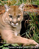 Florida panther - only 80-100 survive; 24 died this year in collisions with cars.