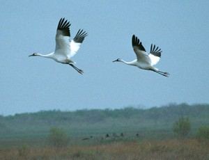 Death of 23 Whooping Cranes leads to suit with national implications. Photo by FWS.