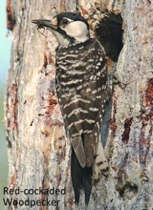Red-cockaded woodpecker perched on a longleaf pine. (Photo courtesy of U.S. Fish & Wildlife Service)