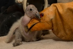 Recently hatched california condor chick fed by condor glove at San Diego Zoo. Photo by Fox 5 San Diego.