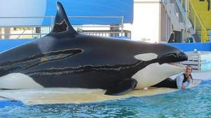 Lolita with trainer at Miami Seaquarium. Photo by Seattle Weekly News.
