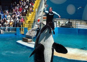 Lolita performing at Miami Seaquarium. Photo by Miami Herald's Tim Chapman.